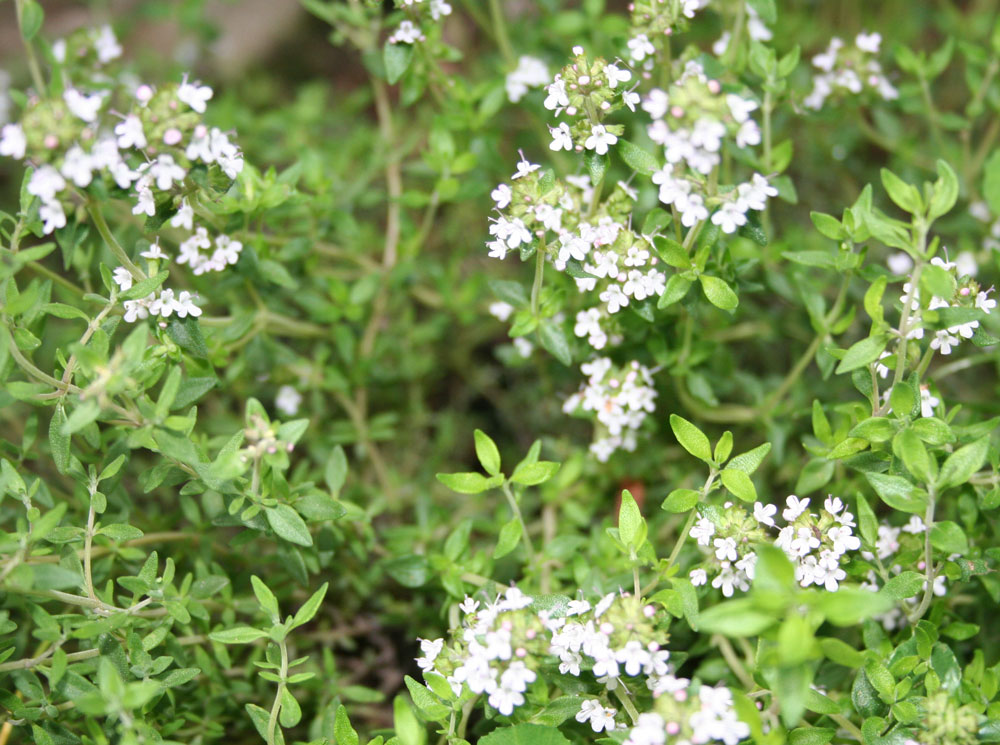 Thyme medicinal plants