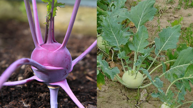 planting kohlrabi for winter vegetable garden