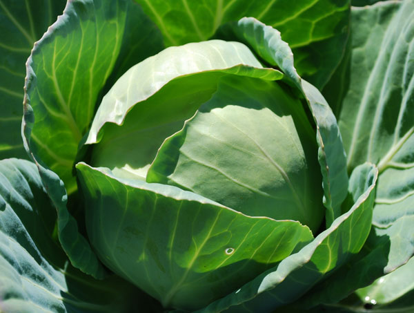 Growing Cabbage In Winter