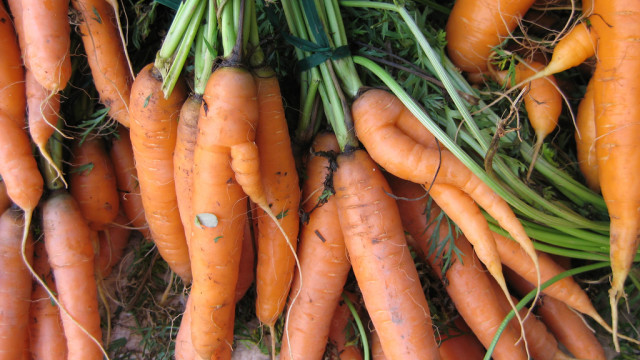 Planting Carrots In Fall/Winter