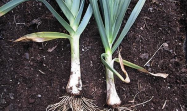 Planting Leeks In Winter
