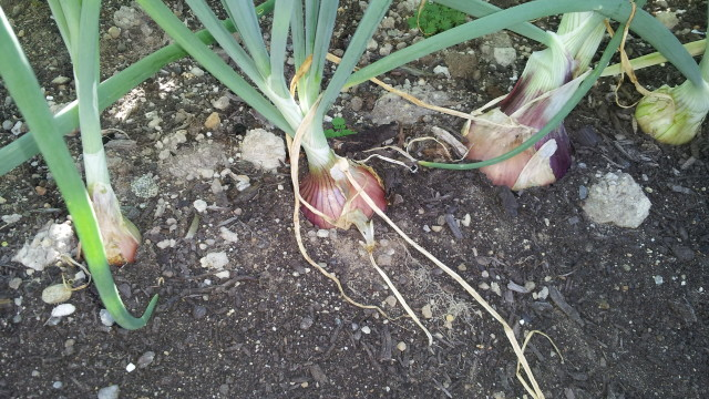 planting onions for winter vegetables garden