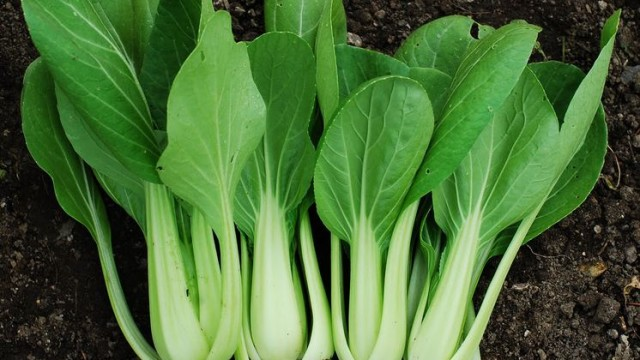 planting pak choi in winter