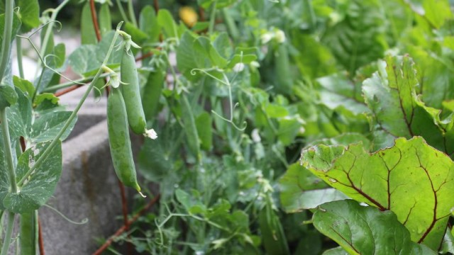 Growing Peas In Winter Season