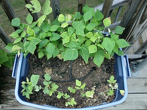 Growing Beans In Pots