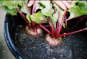 Container Grown Beets