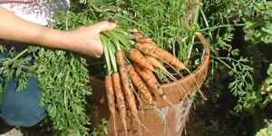 Growing Carrots In Pots