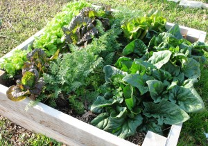 Growing Cole Crops In Container