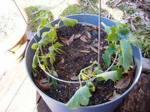 Planting Cucumber In Container
