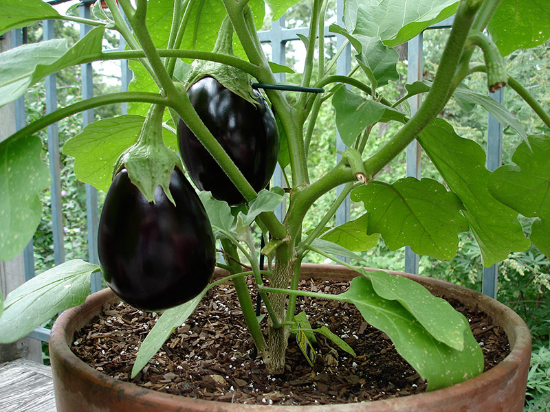 Grow A Garden In Pots 15 ideal vegetables that grow well in a pot or container the self eggplant in container workwithnaturefo