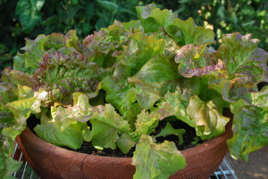 Lettuce and other greens