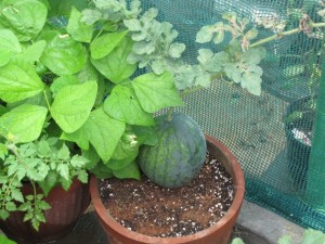 Melons In Pots