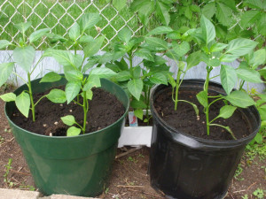 Growing Peppers In Pots