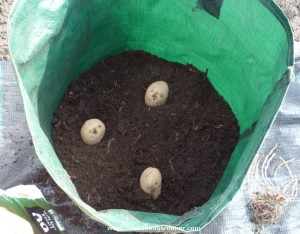 Growing Potatoes In Container