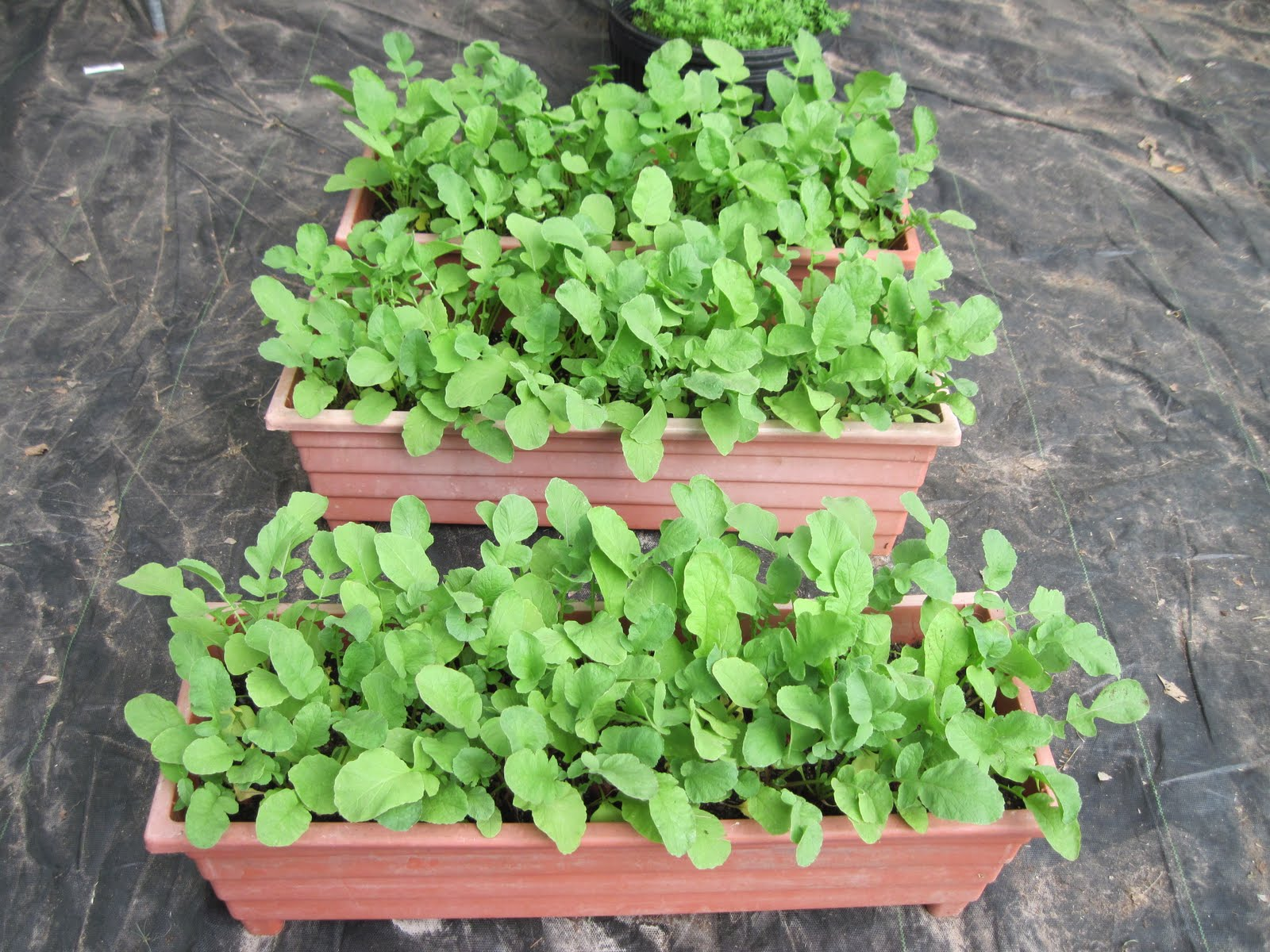 Radishes In Pots