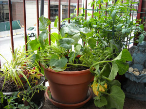 Growing Squash In Pots