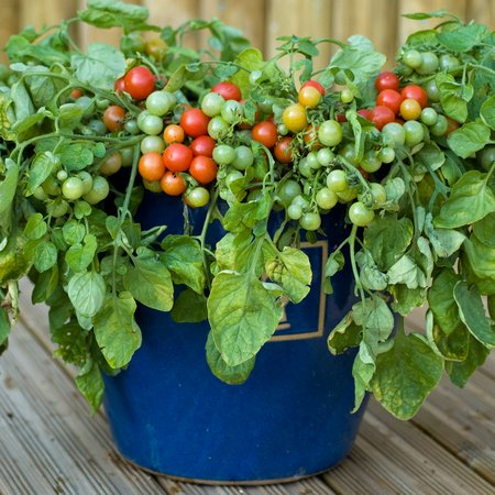Kitchen Garden In Pots 15 ideal vegetables that grow well in a pot or container the self tomatoes in pots workwithnaturefo