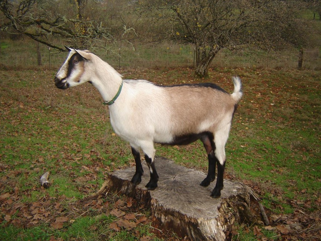 Alpine breed of goat
