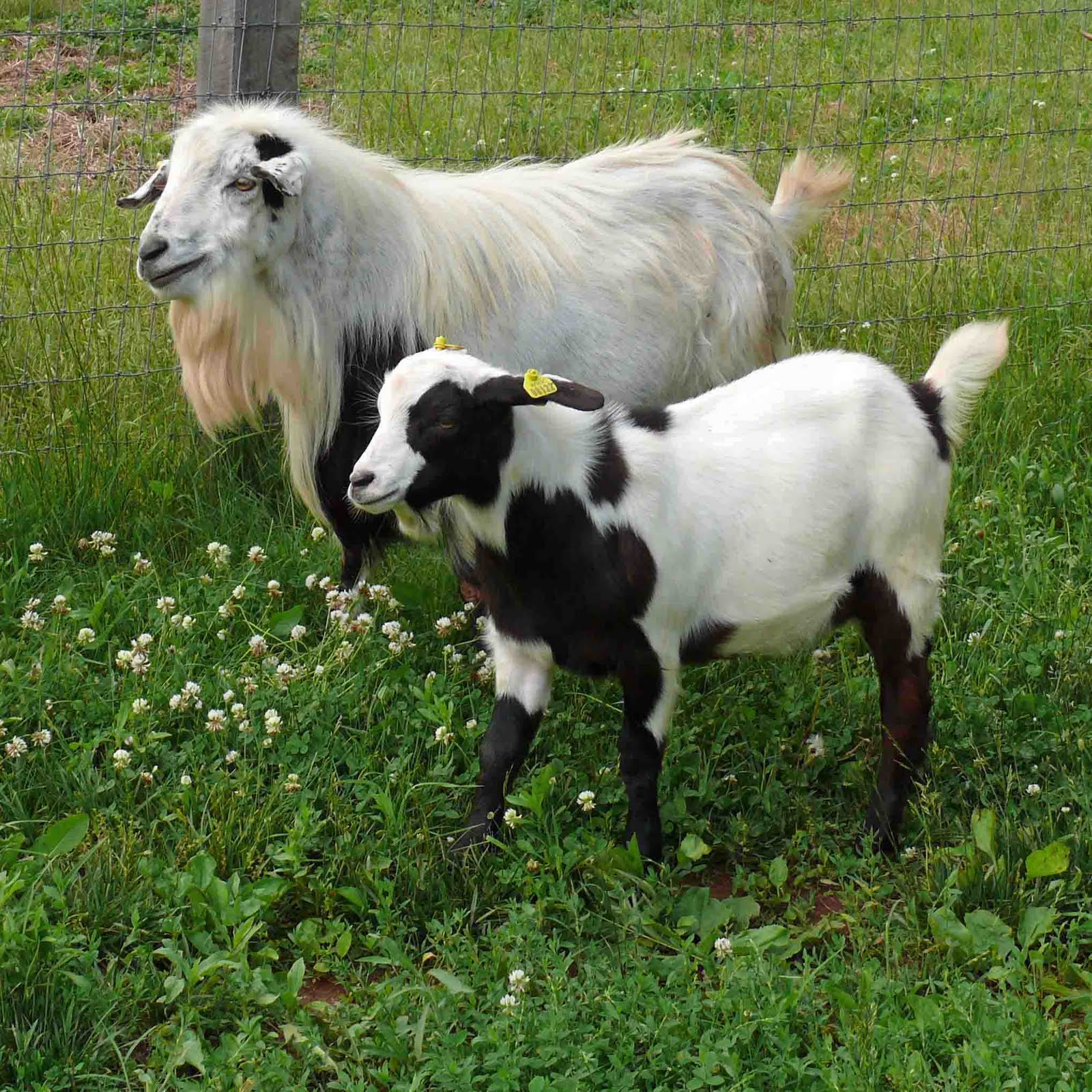 15 Famous Goat Breeds To Raise For Milk, Meat And Fleece ... on goat barns, goat fence panels, goat ranch in the us, goat farm, goat shelter, goat playground, goat blankets, goat pens, goat of america, goat tower, goat vaccine schedule, goat skinning machine, goat fencing, goat housing, goat on camel, shed plans, goat farming business plan, goat houses hutches,