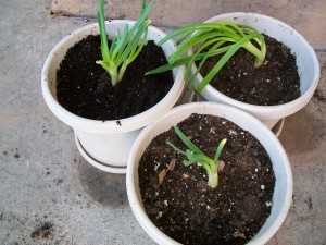 Growing onions in a pot