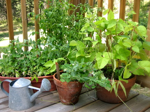 Growing Vegetables in pots or Containers