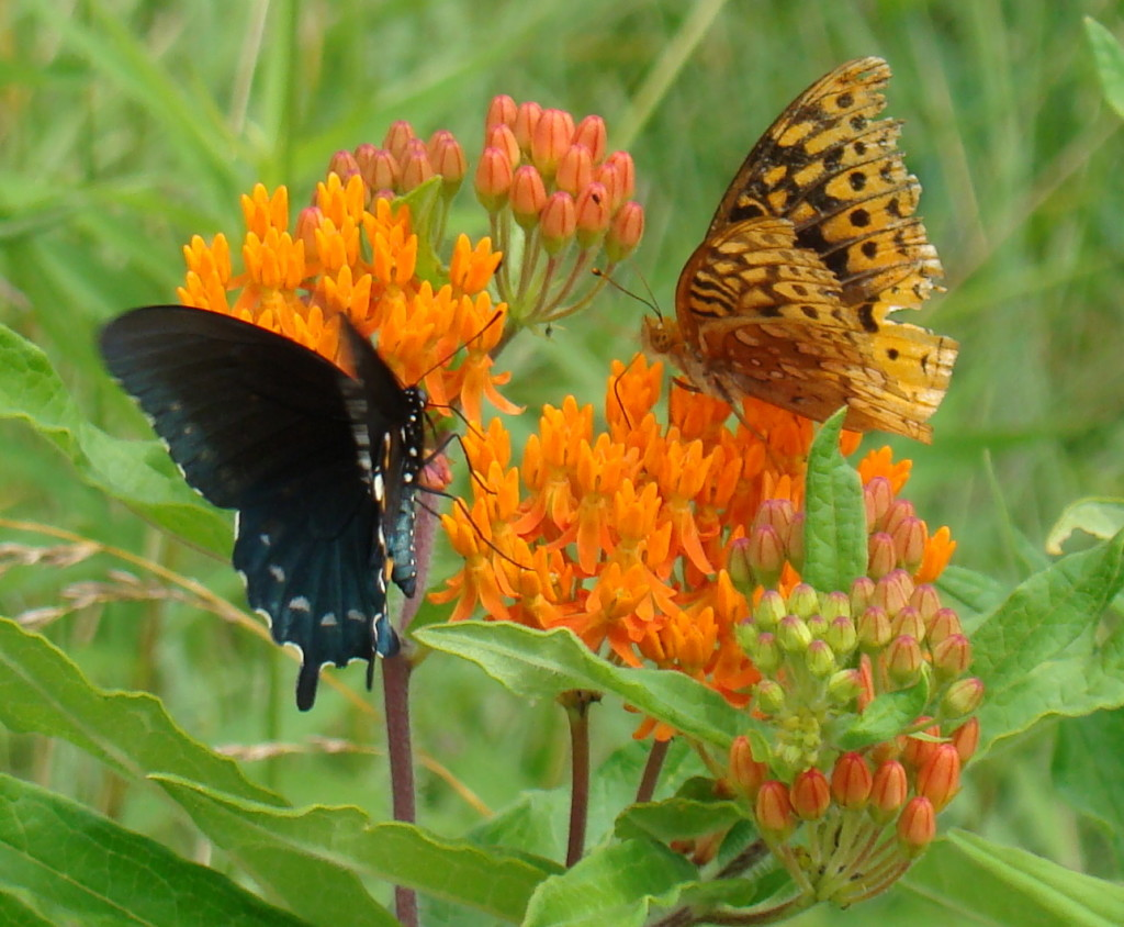 Butterfly weed - Asclepias tuberosa