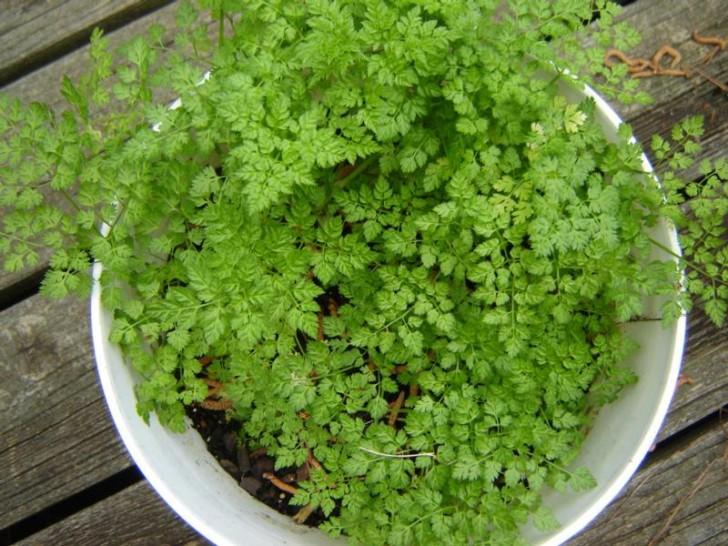 10 famous and easy herbs to grow indoor during winter - Easiest herbs to grow indoors ...
