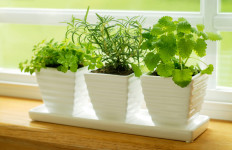 Growing herbs indoor