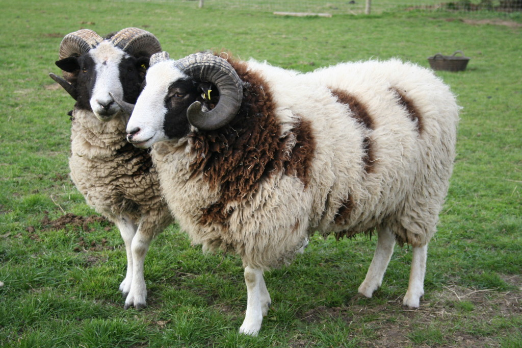 meat product quality from different sheep breeds This is a list of domestic breeds of sheep to be considered a different species domestic sheep breeds wool and meatsheep society of.