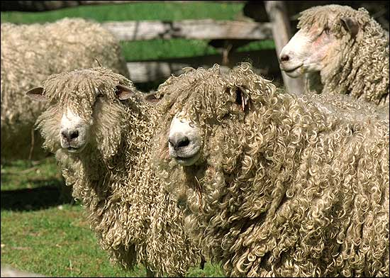 Leicester Long-wool Sheep