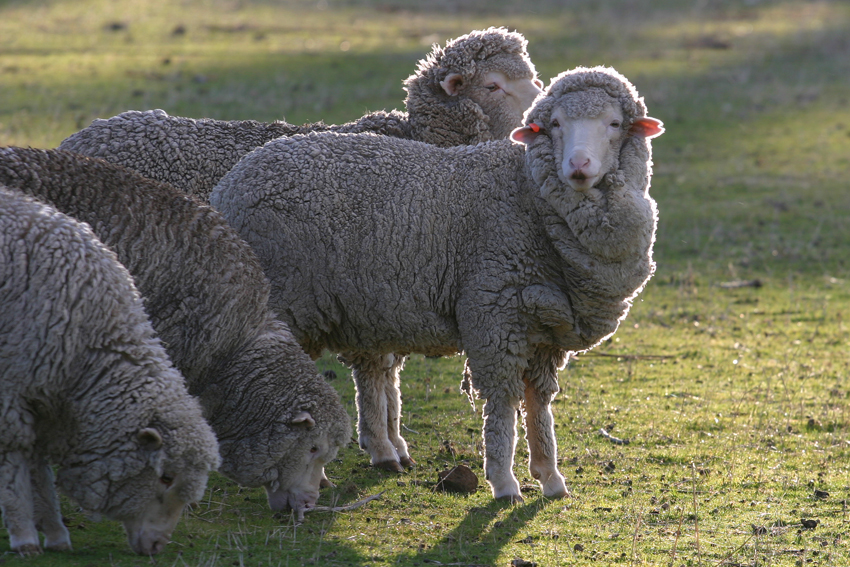 10 most popular sheep breeds raised for meat and wool the self
