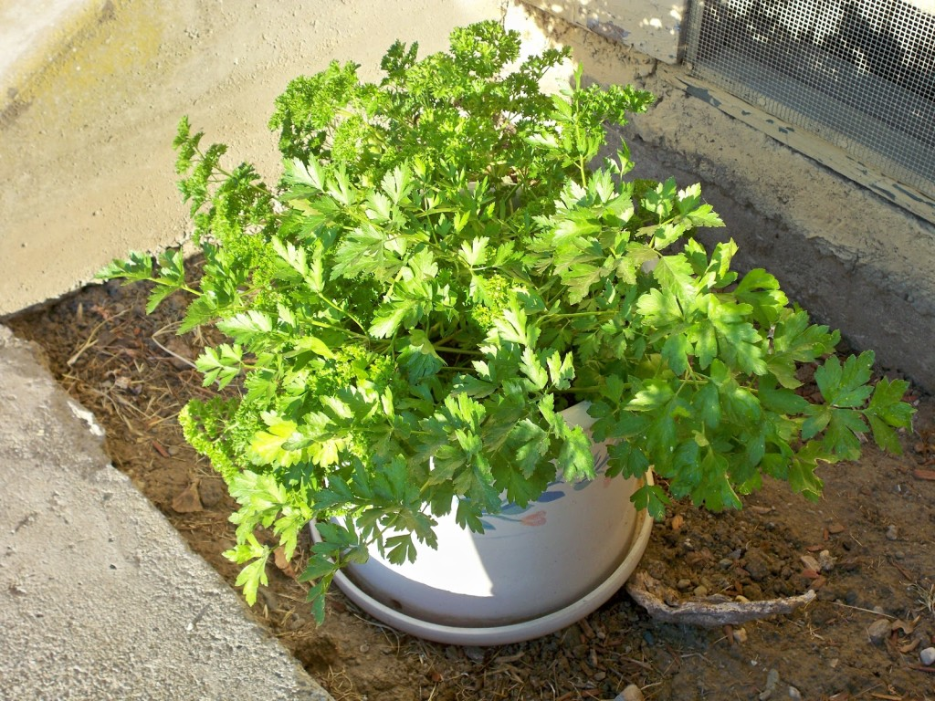 Parsley in container