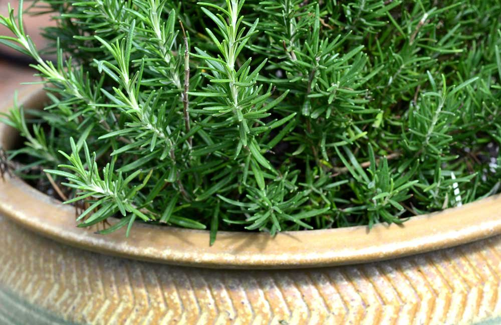 Rosemary indoor