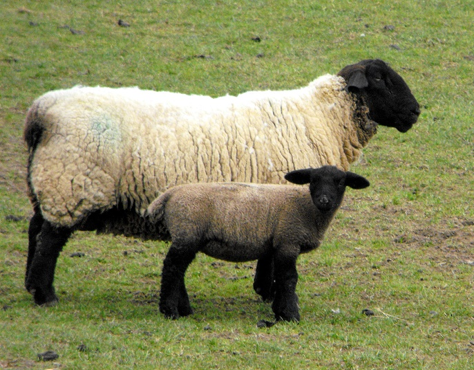 10 Most Popular 'Sheep Breeds' Raised For Meat And Wool ...