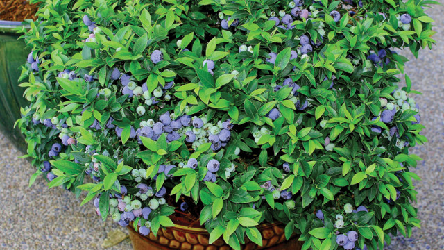 10 Easy Tips For Growing Blueberries In Containers Or Pots