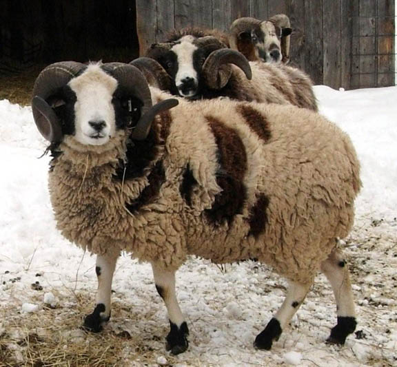 10 Most Popular Sheep Breeds Raised For Meat And Wool – The
