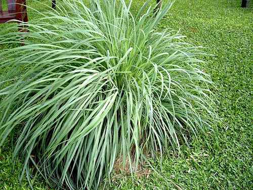 Citronella Grass1