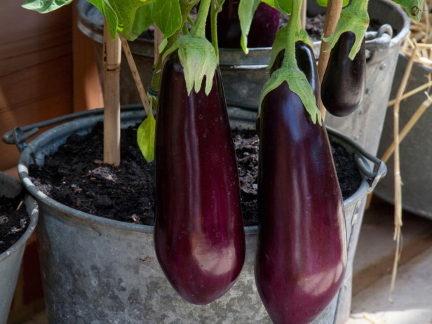 Growing Eggplants In A Pot Or Container