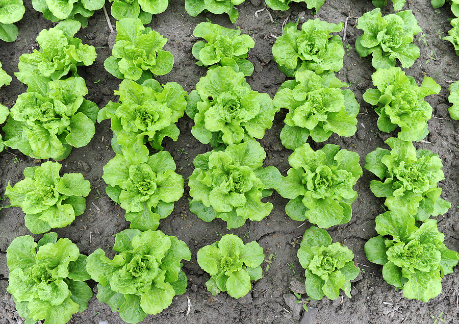 growing Lettuce in shade