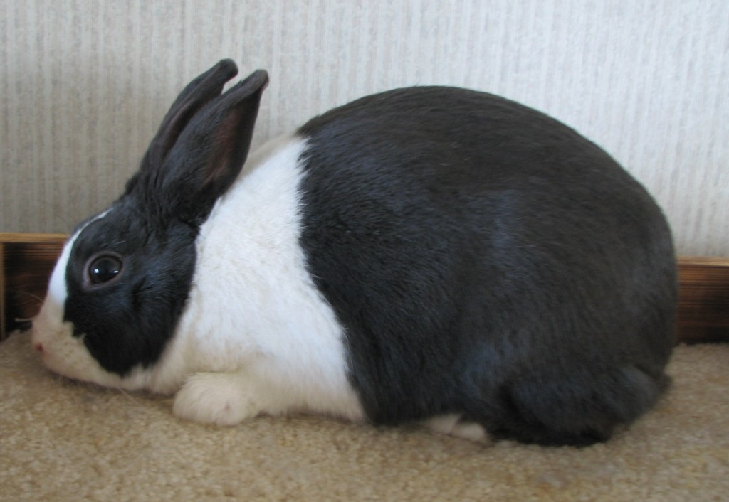 Dutch pet rabbit breed