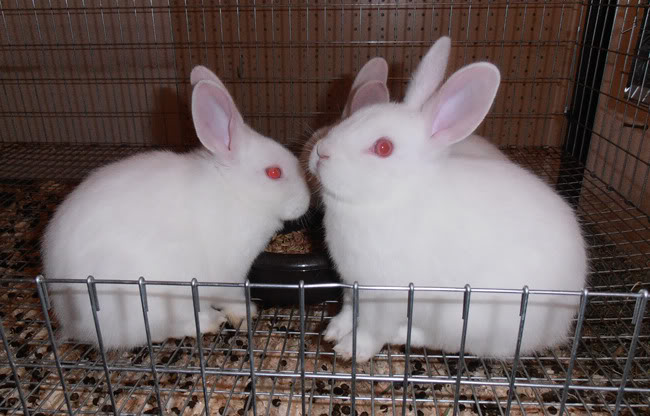 Florida white pet rabbit breed