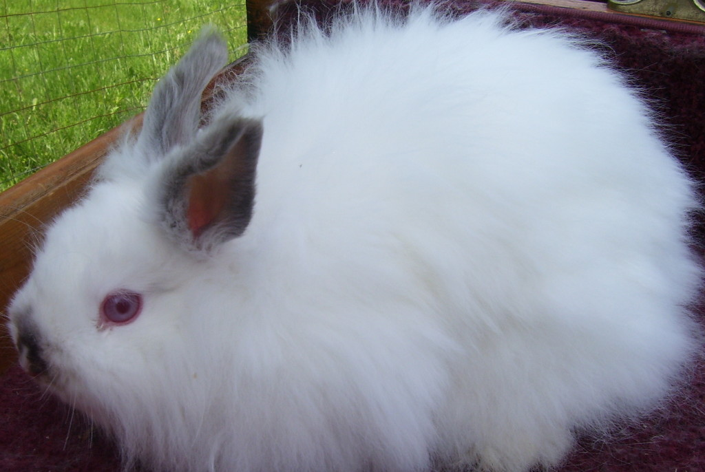 Jersey wooly pet rabbit breed