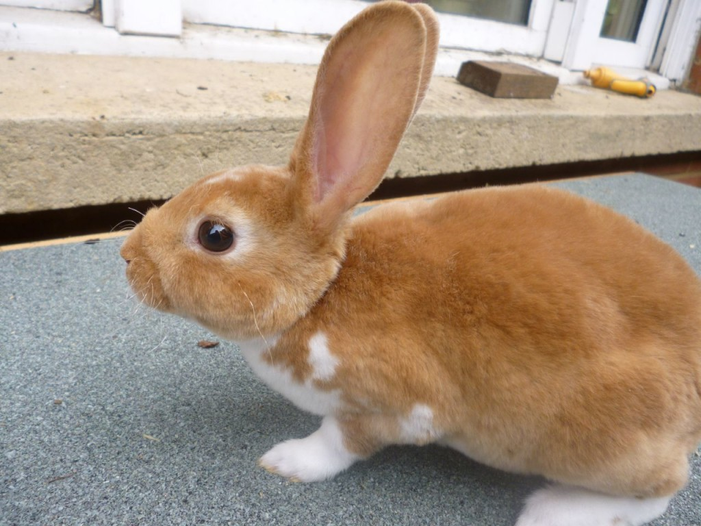 Mini Rex rabbit