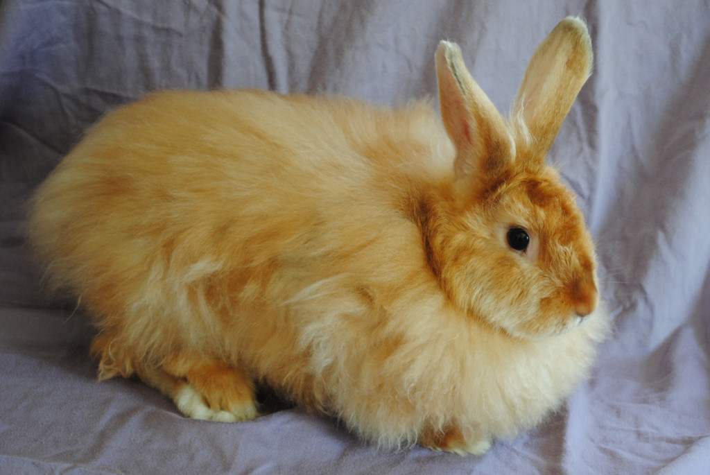 Satin angora pet rabbit breed