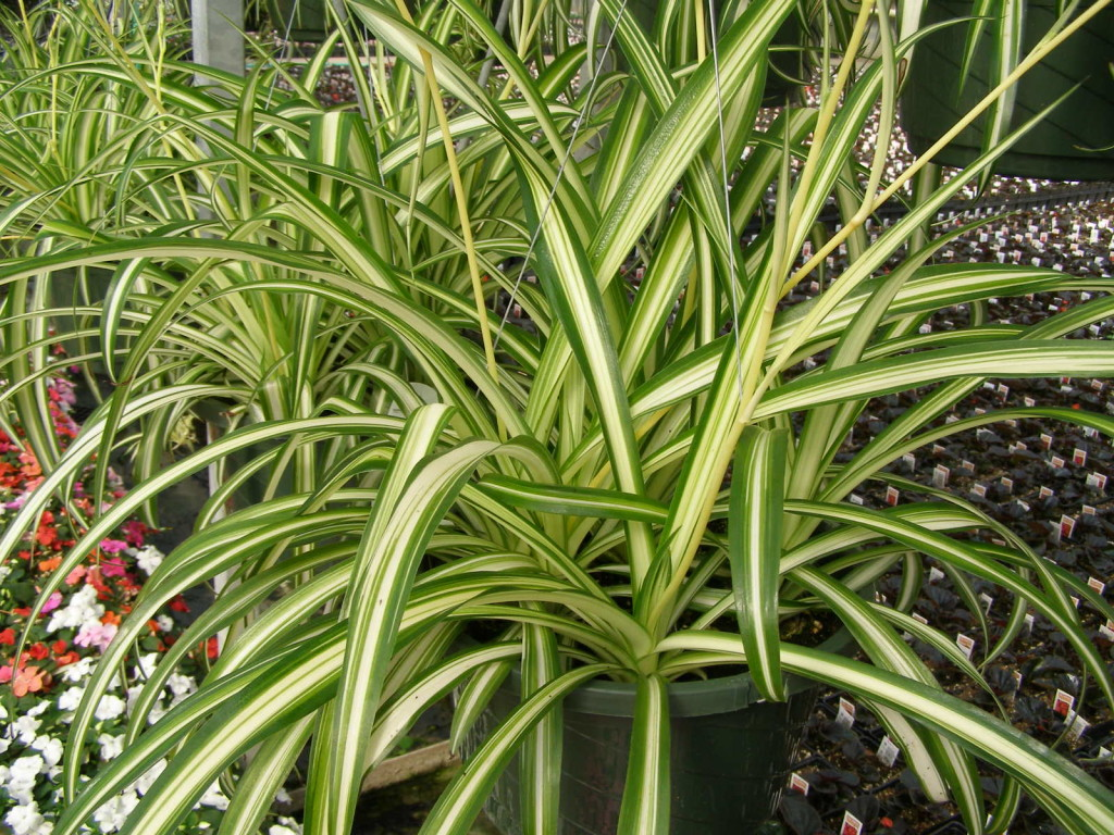 Spider-Plant-1024x768 Best Air Cleaning House Plants on best cat repellent plants, clean air plants, air filter plants, house plants are safe for cats, house air cleaner plants, indoor plants, air purifying plants,