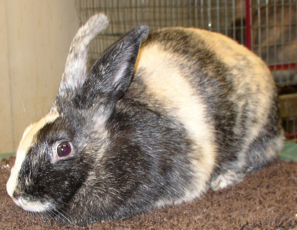The Harlequin pet rabbit breed