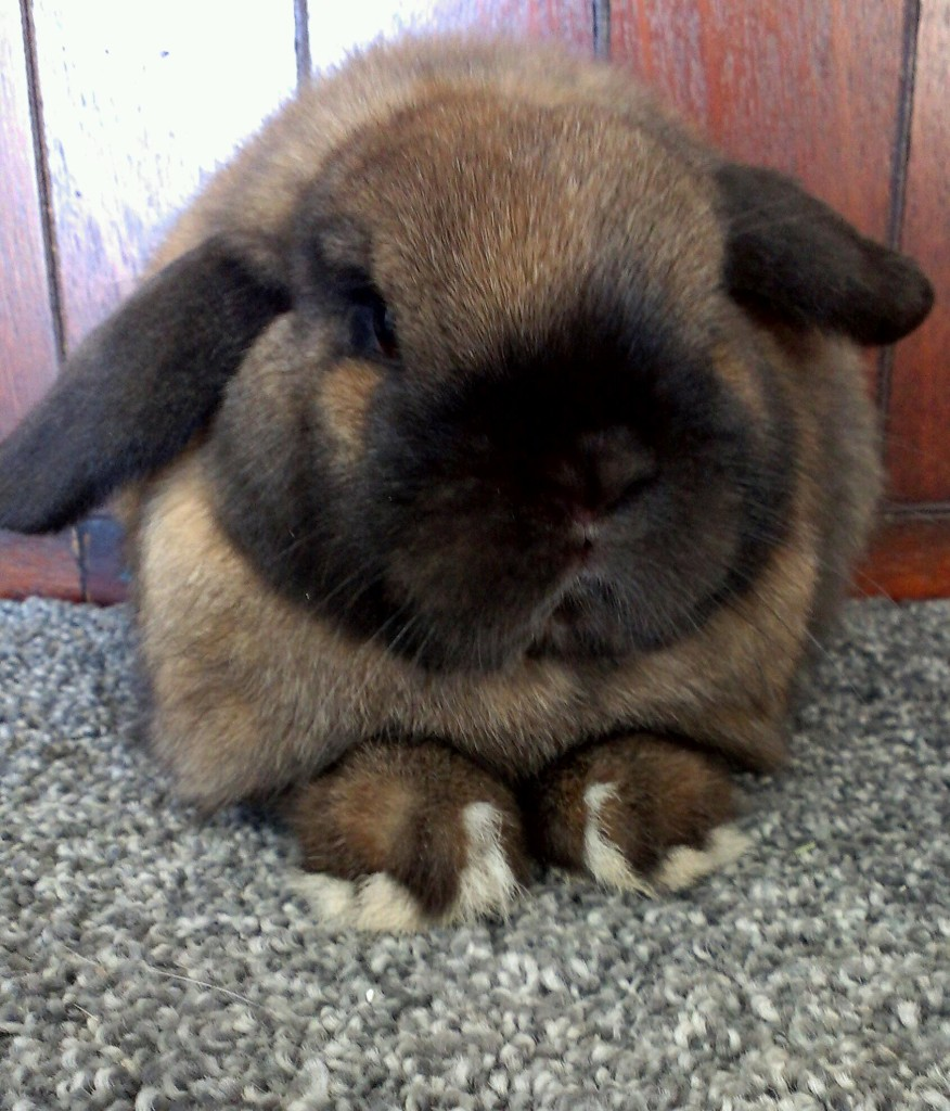 The Holland Lop pet rabbit breed