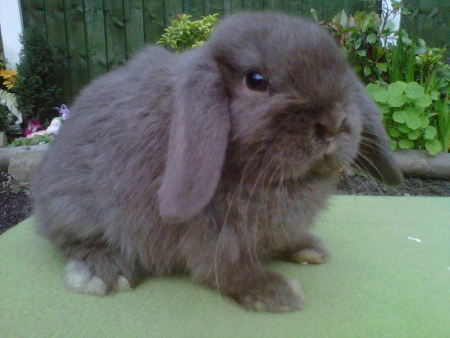 mini lop pet rabbit breed