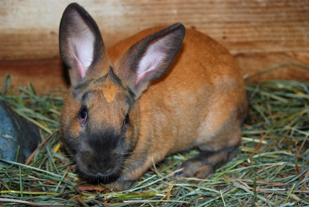 Cinnamons Meat Rabbit breeds