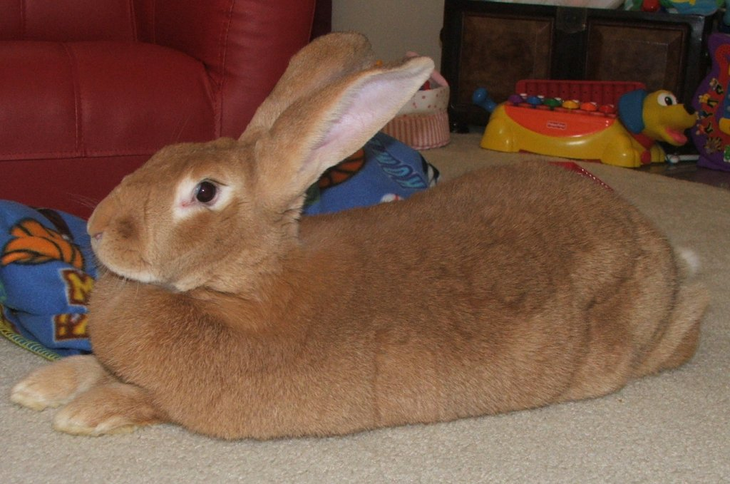 Flemish Giants Rabbit Breeds